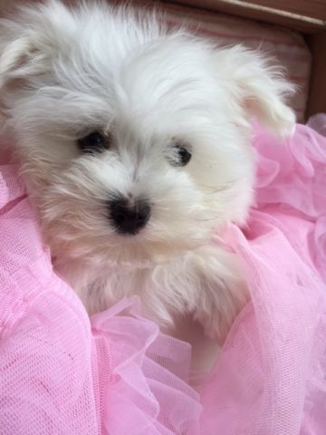 Little Teddies Dogs Puppies For Rehoming Strathcona County Kijiji Teacup Puppies Maltese Puppies Rehoming