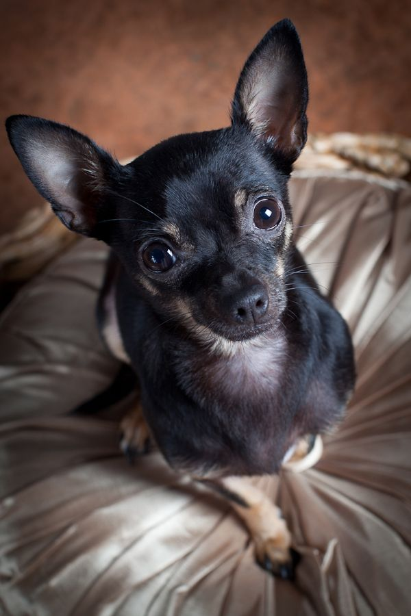 1 Year Old Black Tan Chihuahua Makes Me Think Of Grandma S Dog