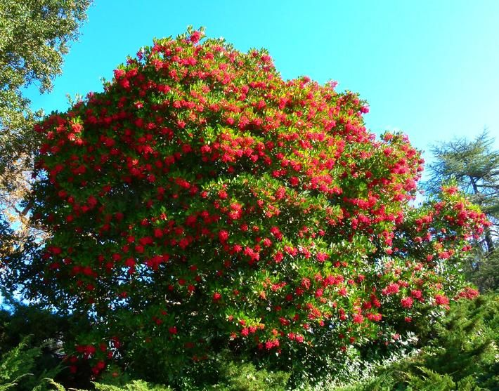 heteromeles arbutifolia tree - Google Search | Belevedere Vacation ...