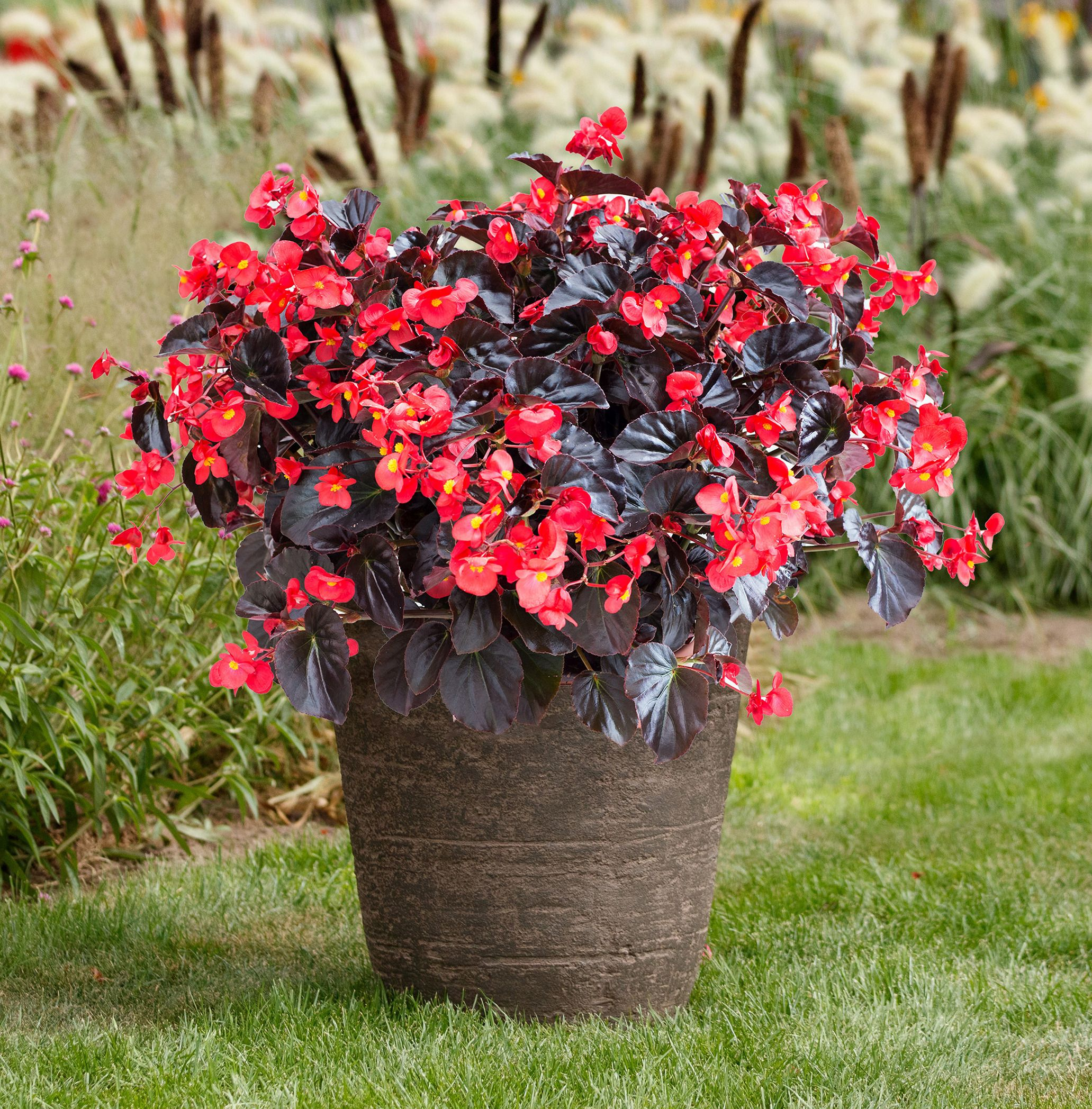 Begonia Viking Xl Red On Chocolate A Brand New Aas Winning Begonia With Large Uniquely Color Container Gardening Container Gardening Flowers Container Flowers