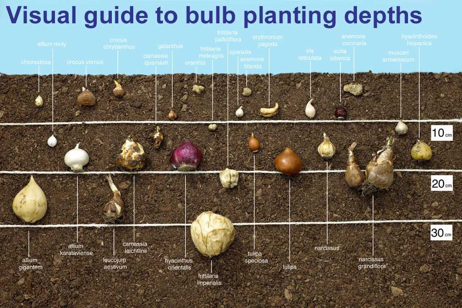 Guide To Planting Depths Of Bulbs Van Meuwen Growing Bulbs Planting Bulbs Allotment Gardening