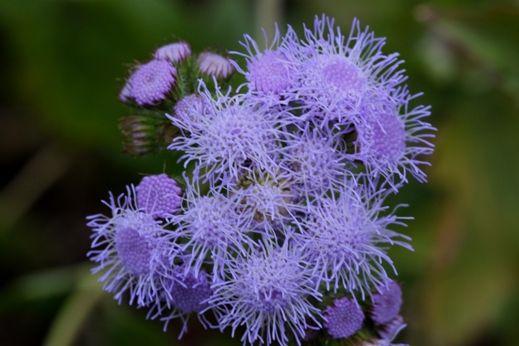 Ageratum Houstonianum Plants Perennials Types Of Plants