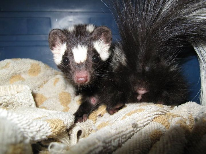 Mary Cummins, Animal Advocates, real estate appraiser, Los Angeles, California, spotted, striped skunks that we have rescued for National Skunk Day. http://www.AnimalAdvocates.us http:www.MaryCummins.com http://www.Mary.cc