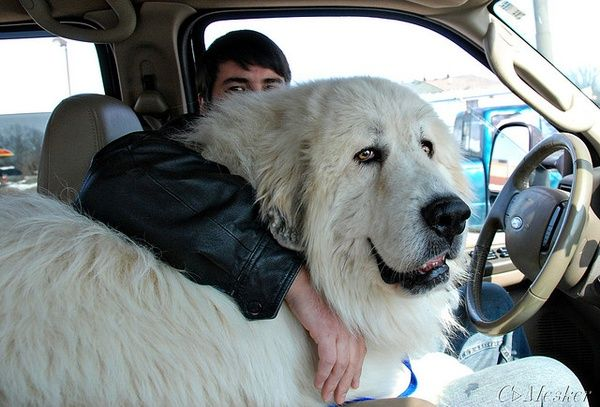 Great Pyreneese Dog That Is Bigger Than The Owner Great