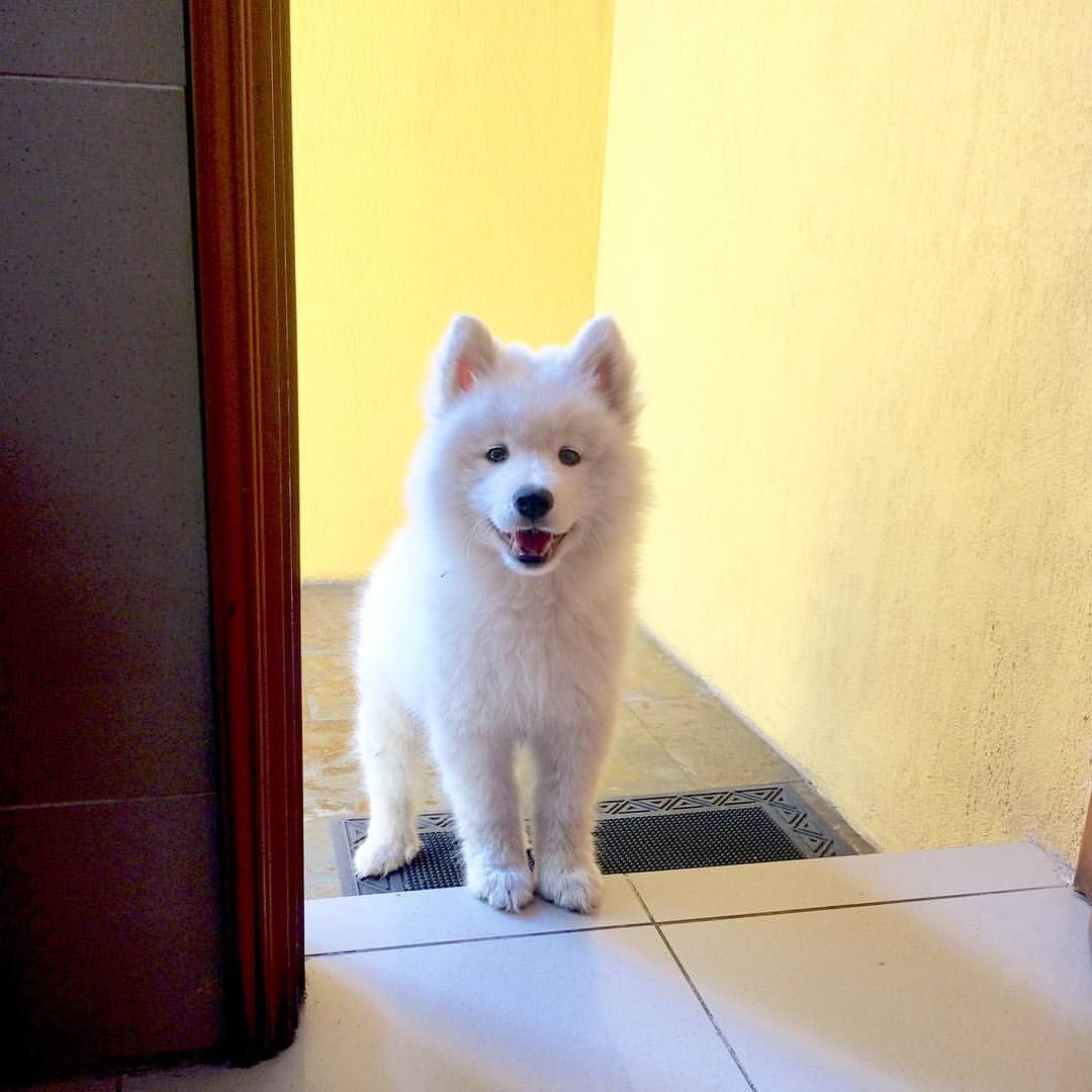 It S Time To Eat Not Yet And Now Now Now Loba Pelusa Ii Samoyed Chile Samoyed Loba Samoyed Puppydog Do With Images Samoyed Dogs Cuddly Animals Cute Dogs