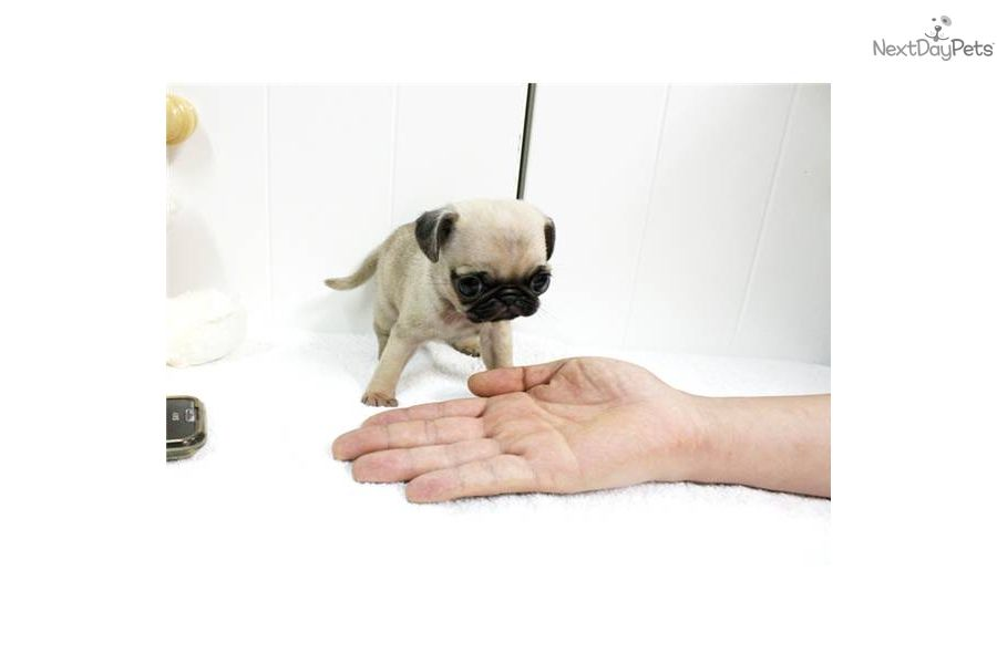 Pug Puppy For Sale Near Jackson Mississippi 1795a8dd 3ba1 Pug