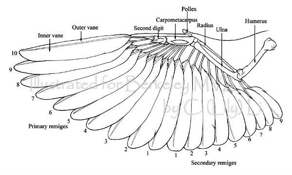 Blog Mechanics Of Your Bird S Wondrous Wings What You Probably Didn T Know Wing Anatomy Bird Wings Wings