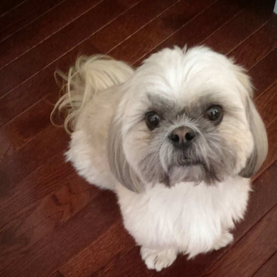 """you're welcome"" #soakupthehandsome #icancureyourmondayblues #hunk #eyecandy   #Prescot #shihtzu #shihtzusofinstagram #dogstagram #dogsofinstagram #furbaby #shihtzuswag #instapet #instadog #instapuppy #dogfessional #woofpackbros #woofpackhotties #lacyandpaws #barkpost  #dogsandpals #buzzfeedanimals #dogdaily #Brooklyn #buzzfeed #nycdogs #dogsofnyc # by prescotnation"