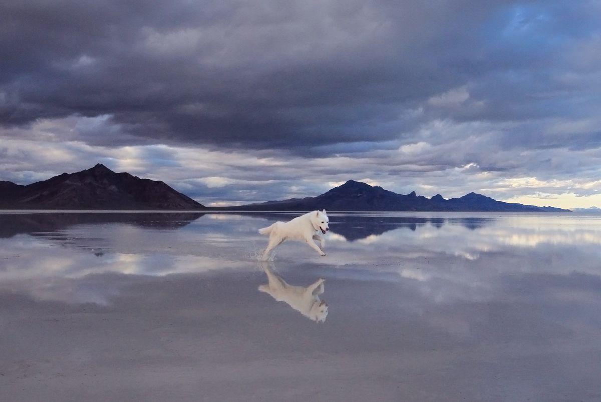 Dog (Canis lupus familiaris) running on Bonneville Salt Flats [1200x803] [OS]