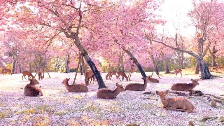 Reddit The Front Page Of The Internet Japanese Park Nara Blossom Trees