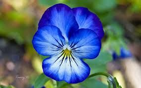pansy flower - Google Search