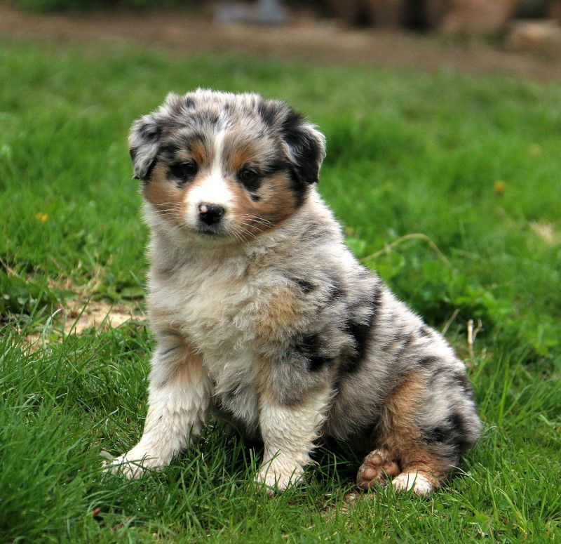 Australian Shepherd Puppies For Sale With Images Australian Shepherd Puppies Australian Shepherd Puppies