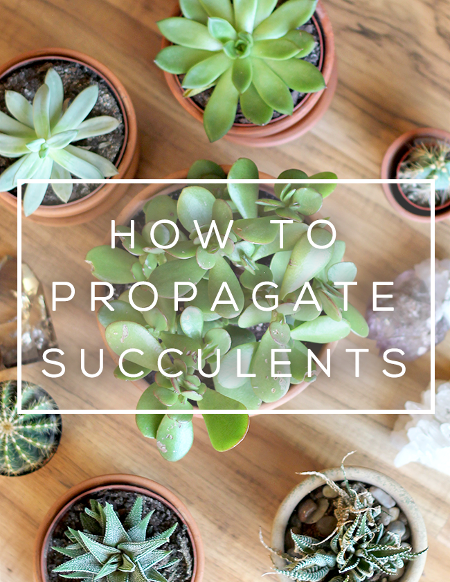How To Propagate Succulents (+ Make DIY Succulent Garden Gifts!)