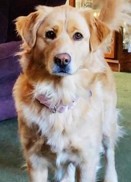 Adopt Dixie On Golden Retriever Rescue Dogs Golden Retriever Dogs
