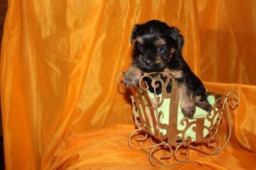 Kunterbunte Bolonka Zwetna Welpen Hundin In Thuringen Neustadt An Der Orla Ebay Kleinanzeigen Bolonka Zwetna Bolonka Hunde