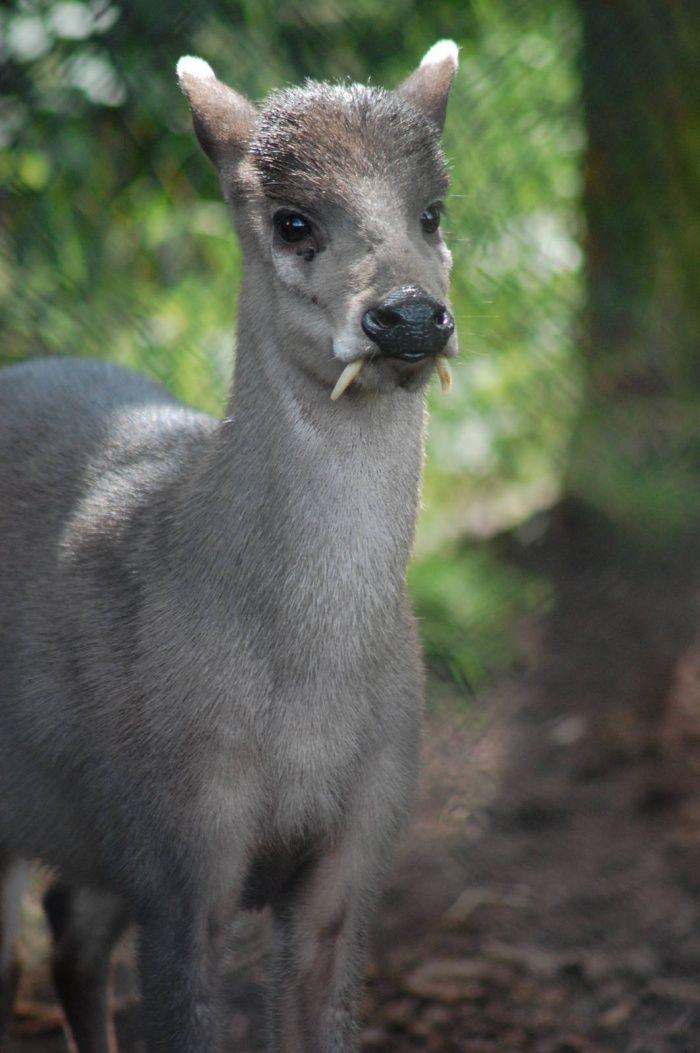 Copetudo Deer - Una lección Zoología: los animales más inusuales en el Mundo