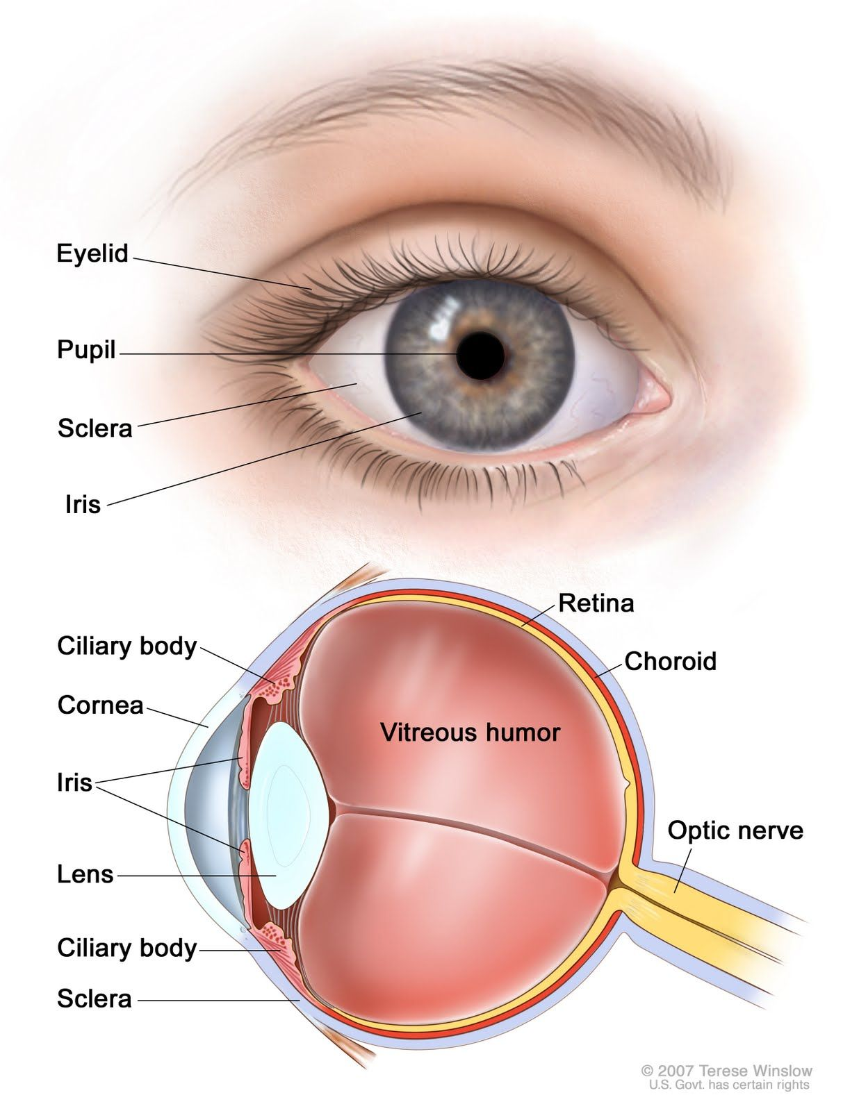 Diagram Of Eye The Eyes Chart | Teaching Stuff | Pinterest ...