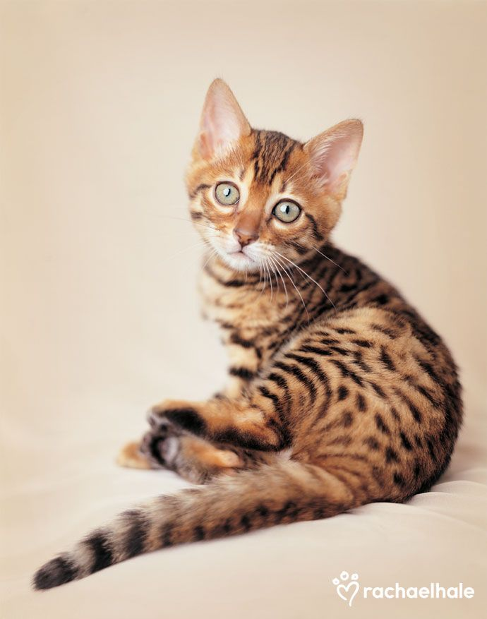 Lulu (Bengal) - How can you say no to Lulu's baby face. (pic by Rachael Hale)
