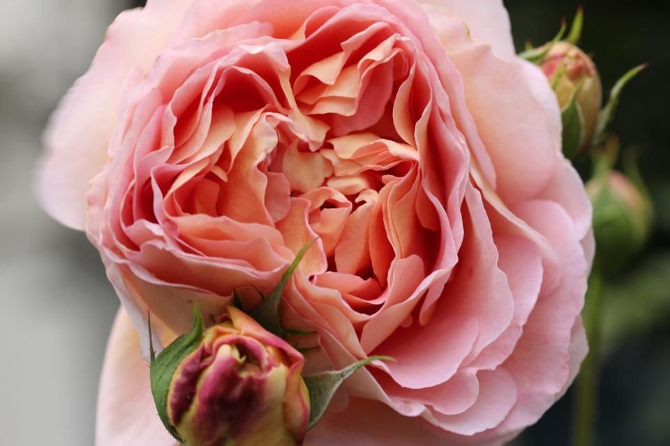 Beautiful Melbourne rose....