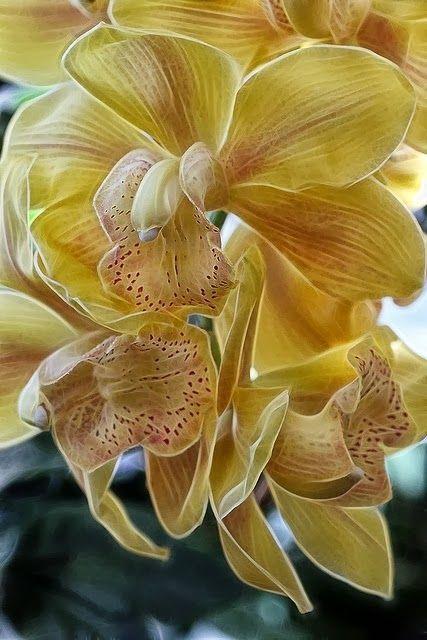 Cymbidium Orchids Cymbidium Orchids Orchid Flower Beautiful Orchids