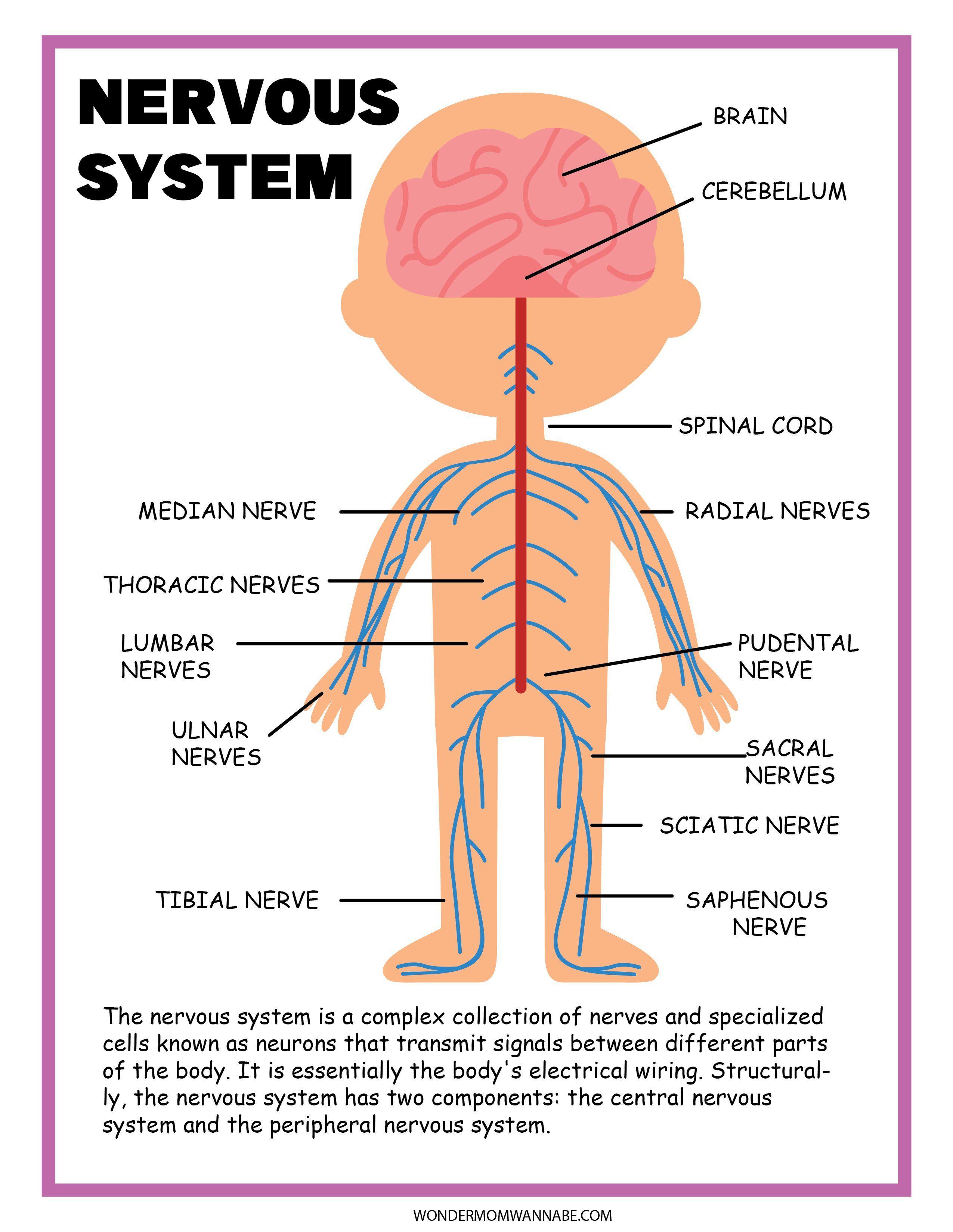 10+ Nervous System Activity Set