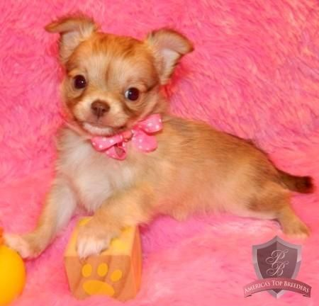 Bell The Female Chihuahua Tennessee Chihuahua Breeders
