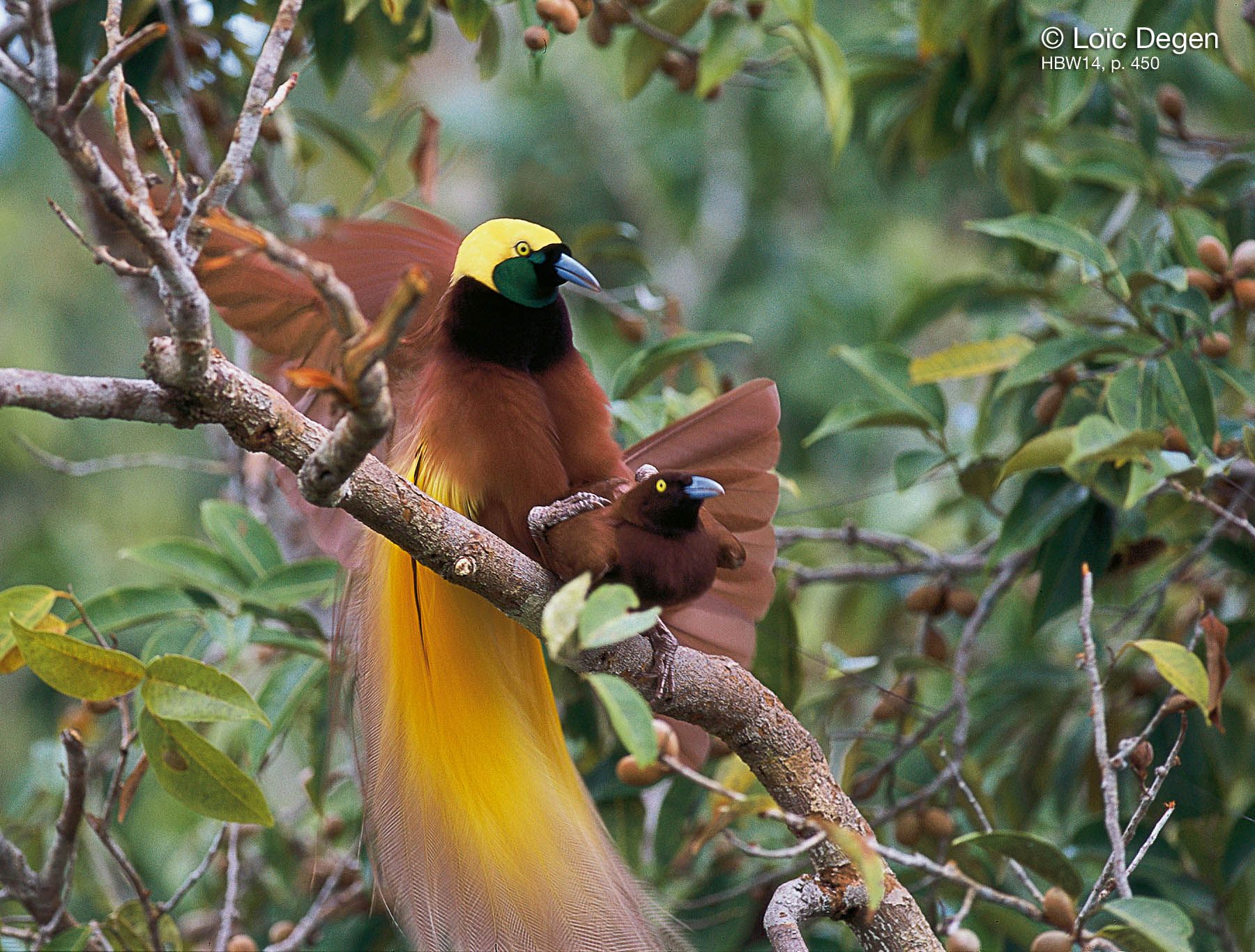 Greater Birdofparadise (Paradisaea apoda) A pair mating