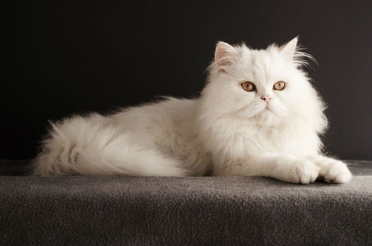 Pin On Tea Cup Persian Cats