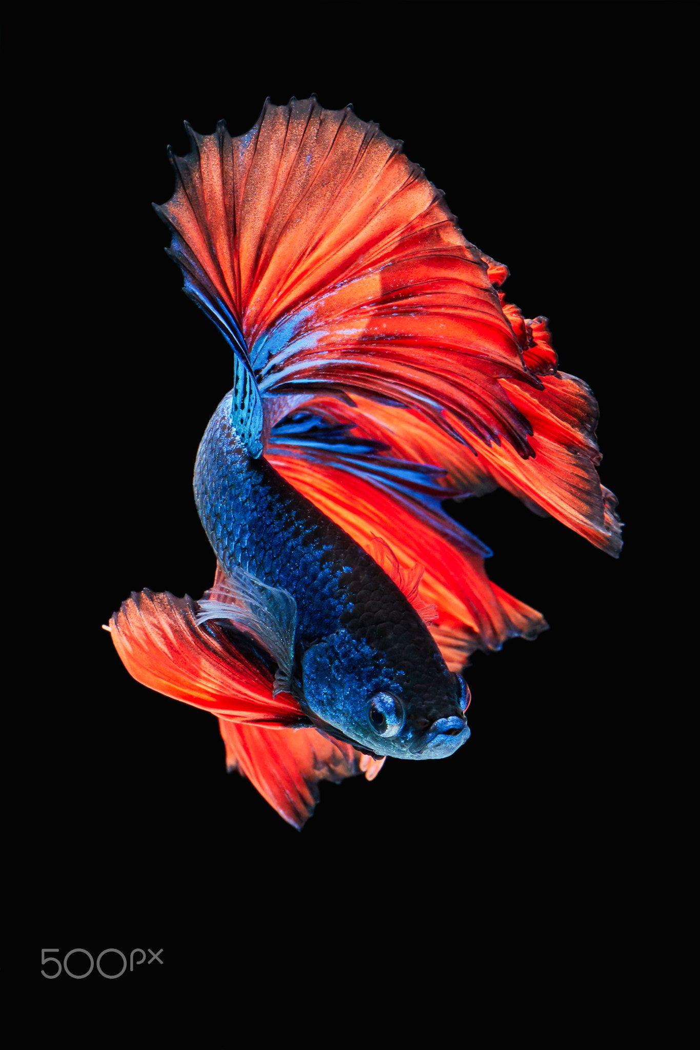 Apple Iphone 6s Wallpaper With Red Veil Tail Betta Fish In Dark Background Dengan Gambar Ikan Cupang Hewan Binatang