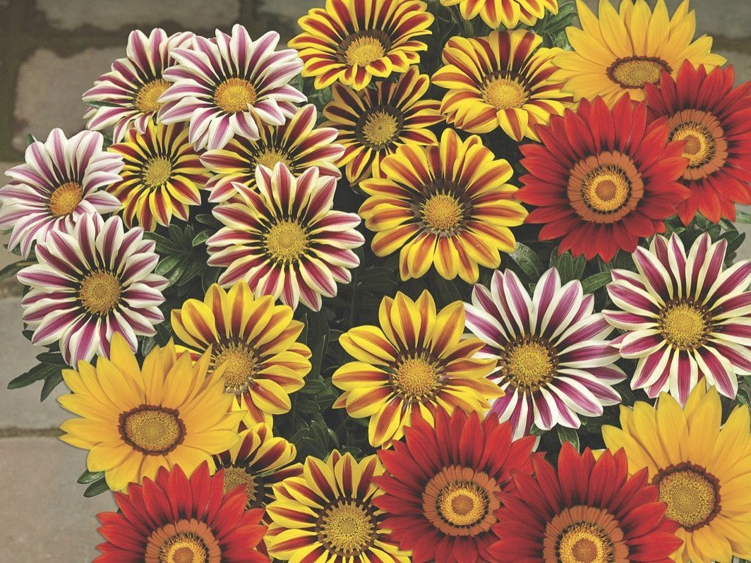 gazania seed big kiss mix known as treasure flower gazania
