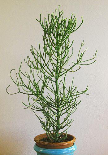 Euphorbia Tirucalli Albero Delle Matite Piante Grasse In Vaso