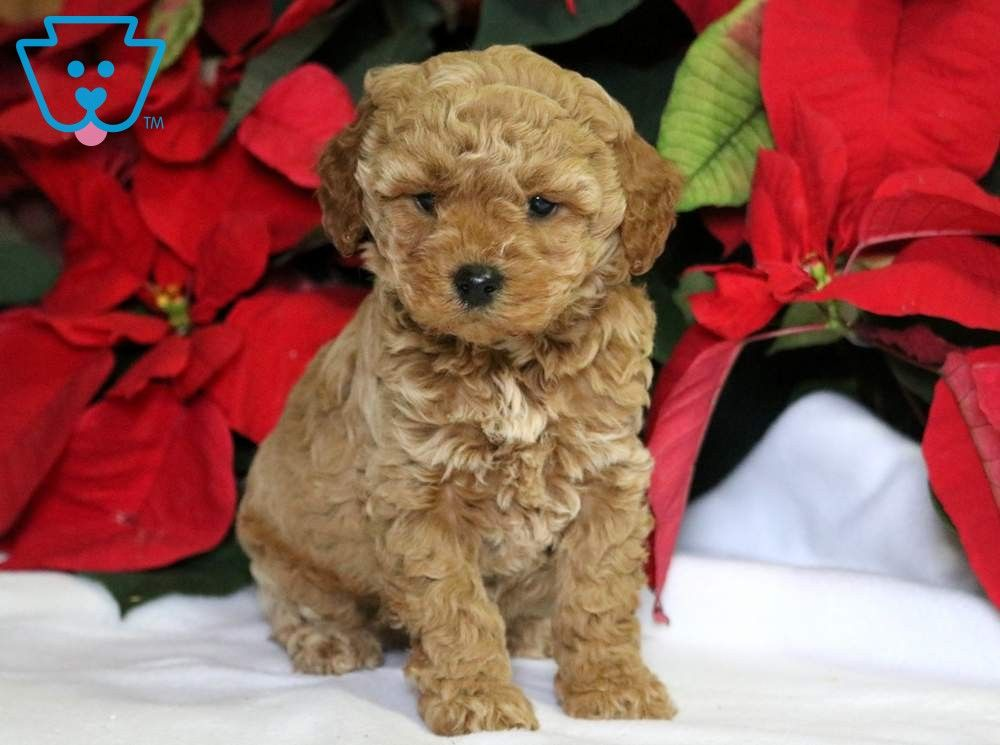 Cupcake Cavapoo Puppies Cavapoo Puppies For Sale Fluffy Puppies