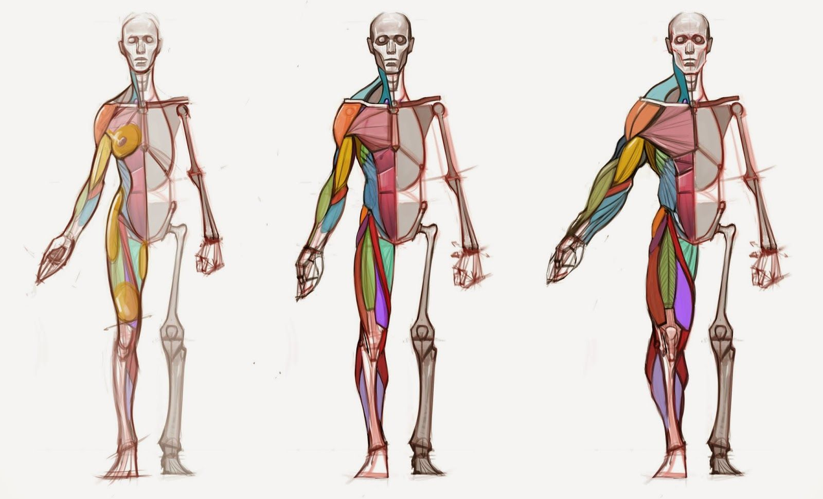 hampton anatomy - Buscar con Google | JD | Pinterest | Anatomy ...