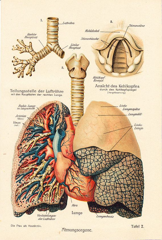 1919 Antique ANATOMY print, lungs and heart, 93 years old antique ...