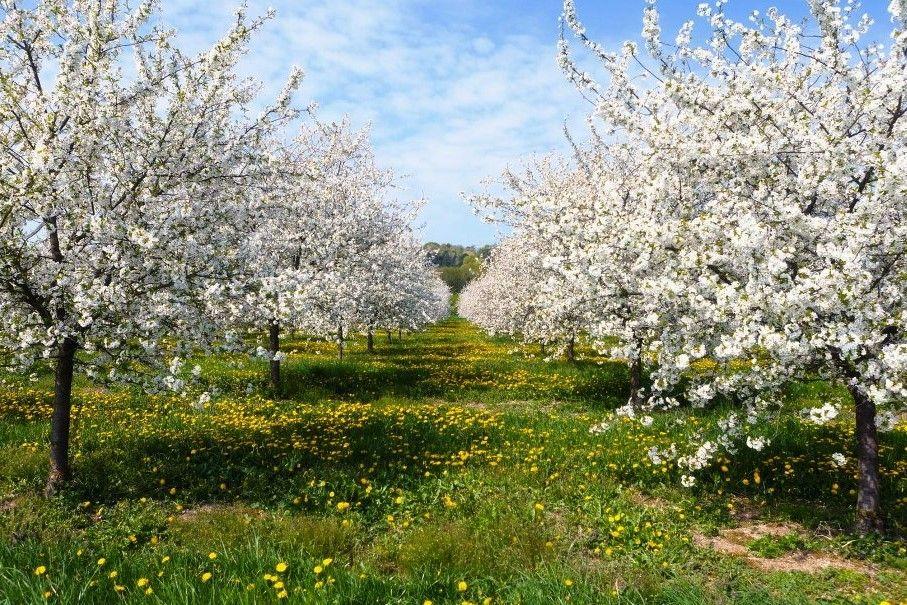 14-16 апреля 2019г Персиковая дымка | Природа, Садовые ...  Фруктовый Сад Обои