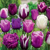Enchanted Evening™ Tulip Mix