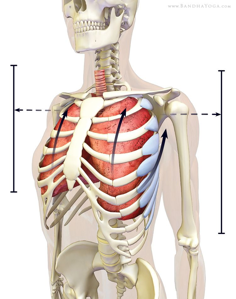 serratus anterior expanding the lungs- deeper breathing in yoga ...