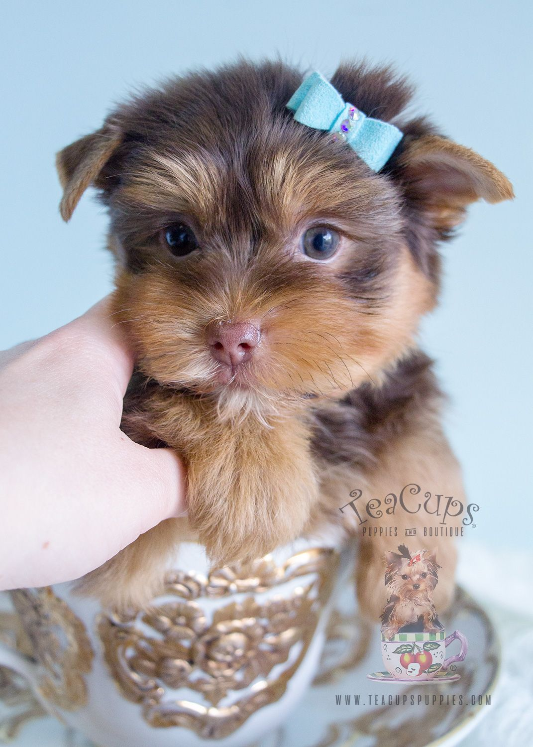 Chocolate Teacup Yorkies In Davie Florida Yorkie Puppy Cute Dog Pictures Yorkie