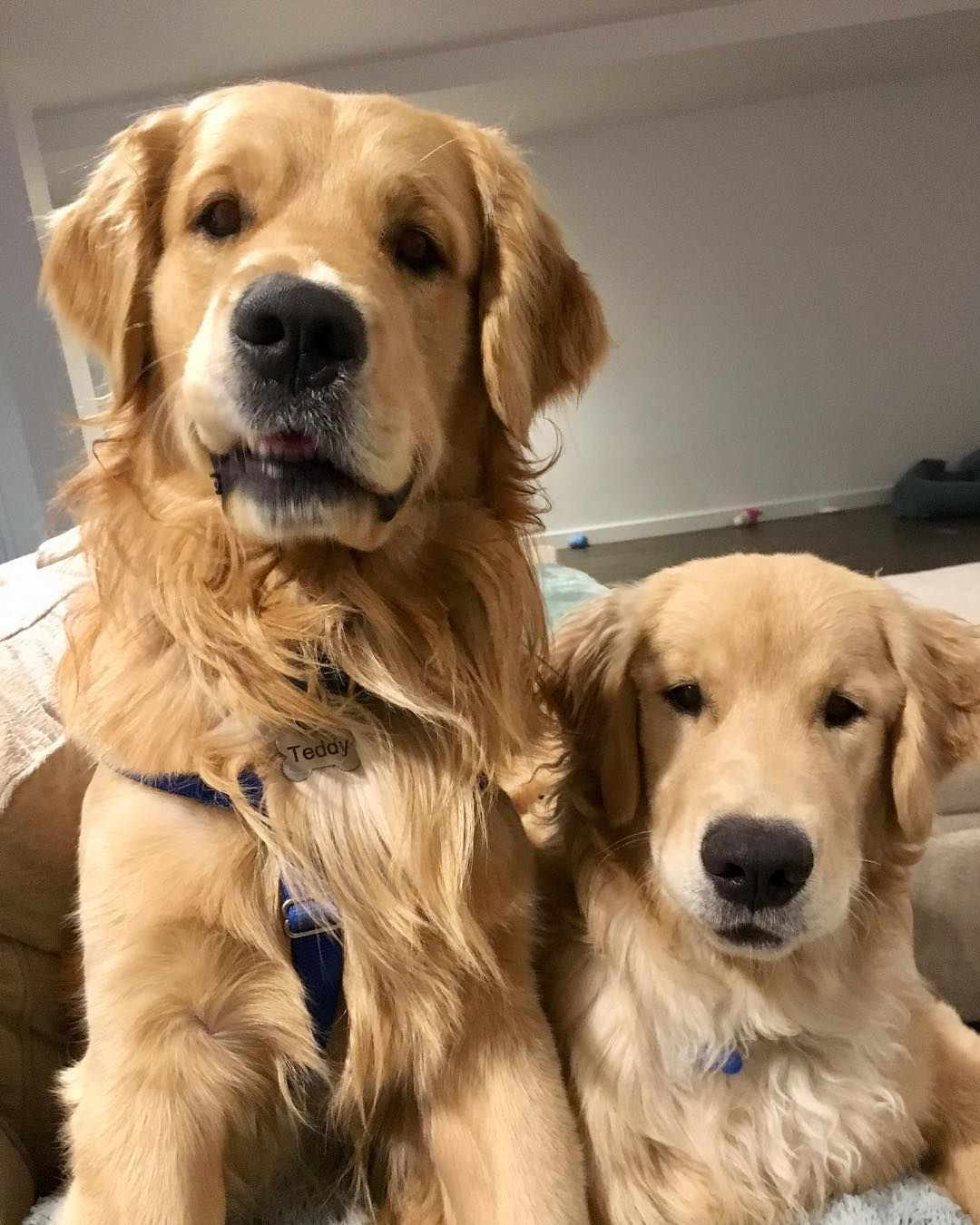 Golden Retrievers Dogs On Instagram Brothers From The