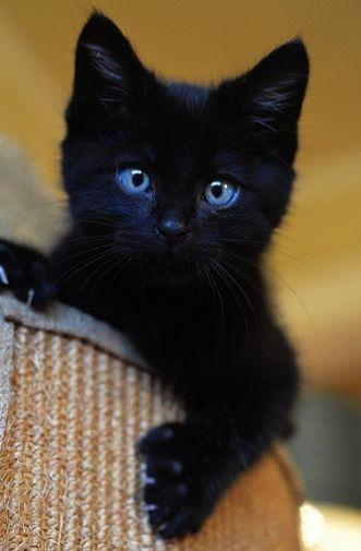 Superbe chaton noir yeux bleus chats noirs chat noir chats noir rigolo chats noir - Jeux de petit chaton gratuit ...