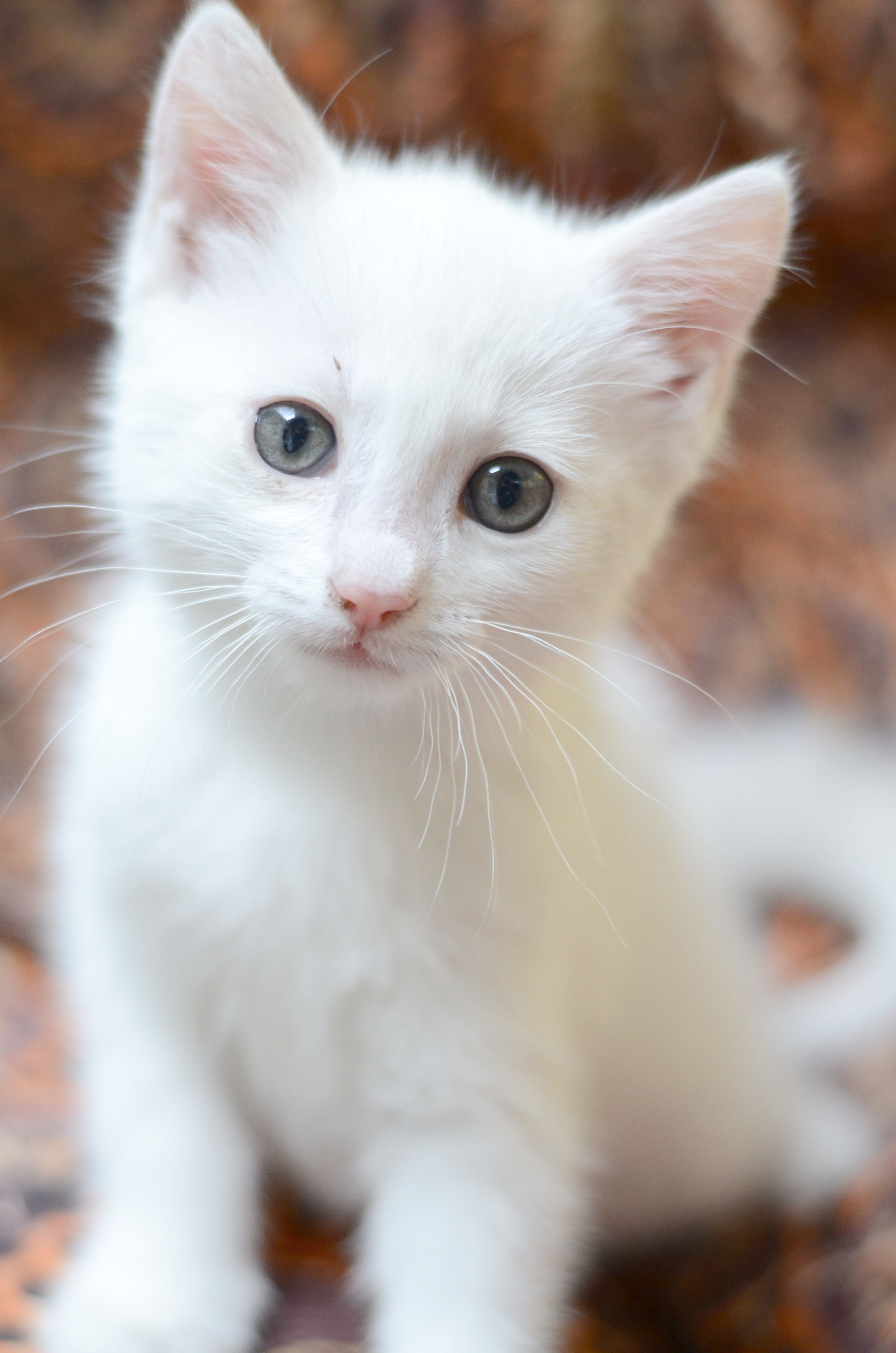 White Cat Baby Cats Cats Beautiful Cats