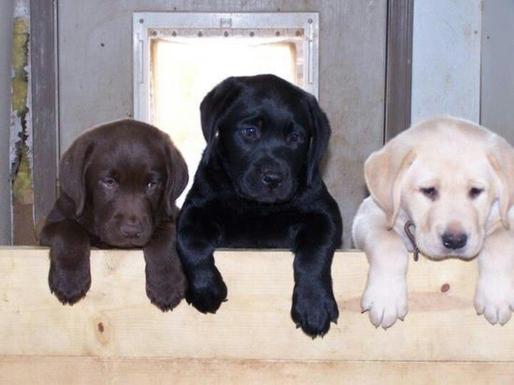 Yellow Chocolate And Black Labrador Retrievers Lab Puppies