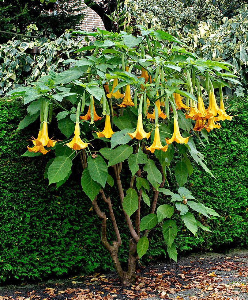 Brugmansia trompette du jugement 39 twinflower gold 39 plantes bakker france si j 39 avais un - Fleur en forme de trompette ...