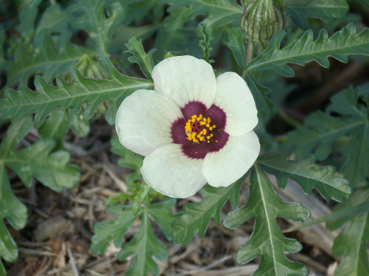 🌼 Hibiscus Trionum: La variedad veraniega del mediterráneo ...