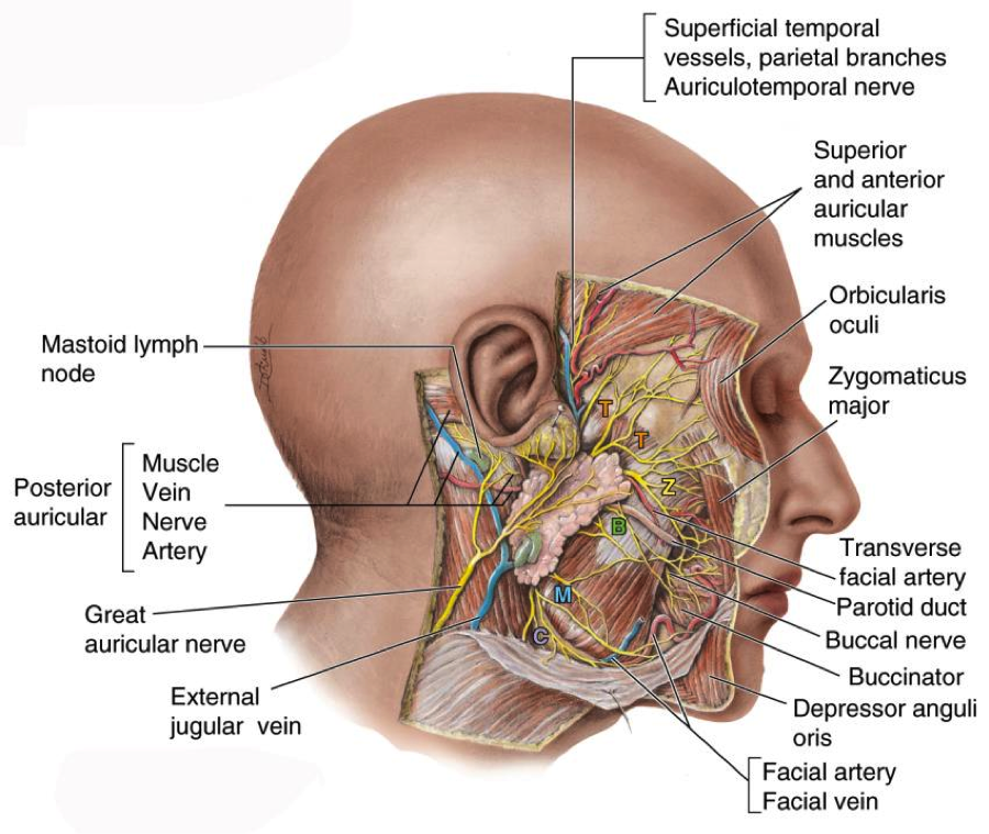 Colorful Parotid Gland Anatomy Ppt Embellishment - Anatomy And ...