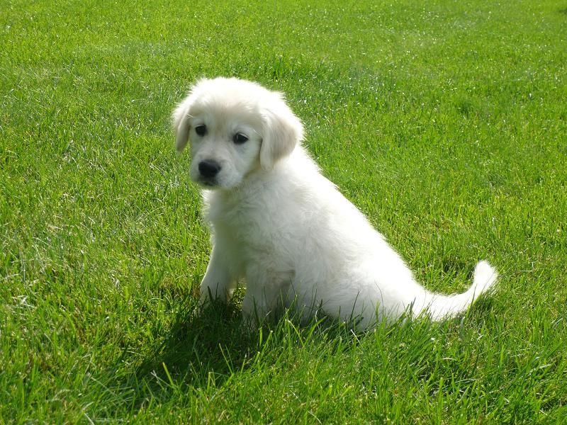 My Dog Parker As A Puppy English Cream Golden Retriever Breeder Hidden Meadows Golden S Golden Retriever Breeder Retriever Golden Retriever