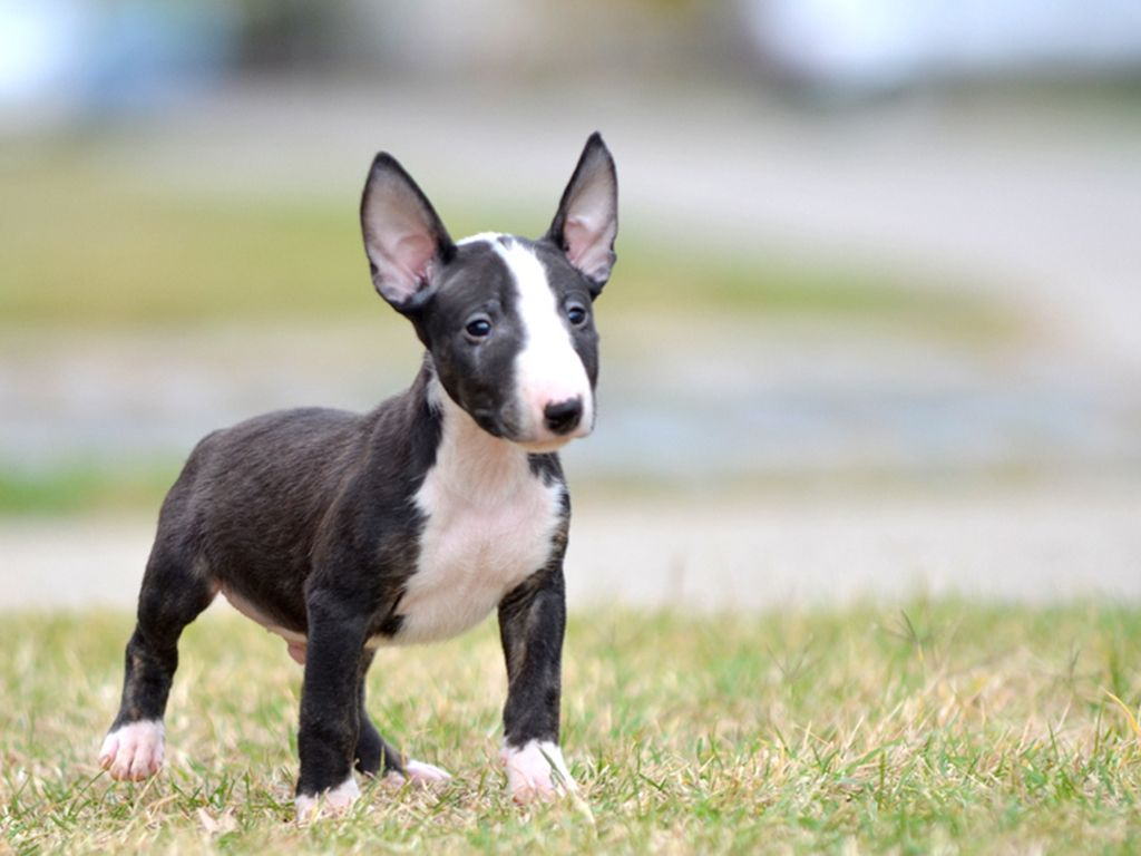 miniature bullterrier | puppies, dogs, english bull terriers
