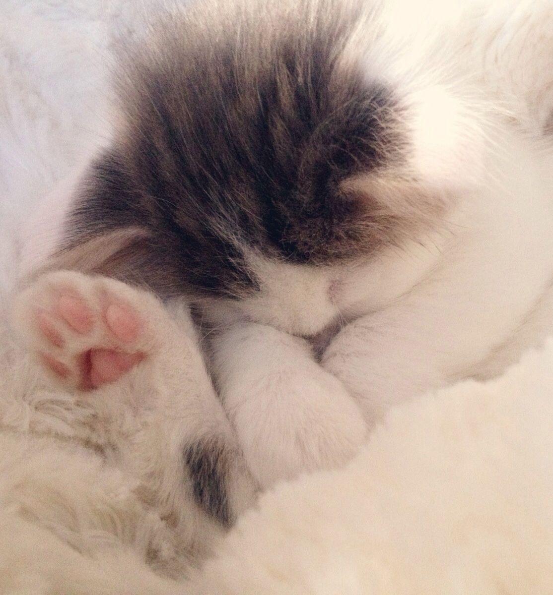 Zzzzz Kitty Sleeping Kitten Cat Sleeping Cute Cats And Kittens