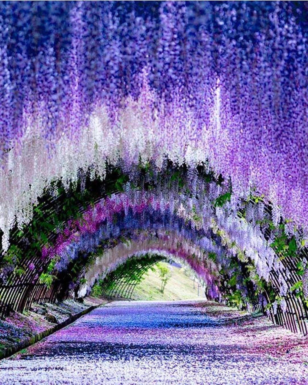 856a8432b4821054d4a6fb538d7bbf8f - Wisteria Tunnel At Kawachi Fuji Gardens Kitakyushu Japan