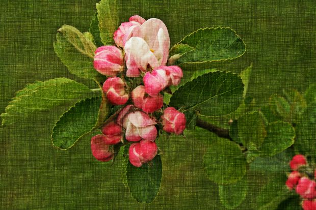 canvas apple blossom  - a photo from my garden